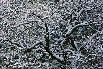 Fresh snow on tree branches in Yosemite Valley, Yosemite National Park, California