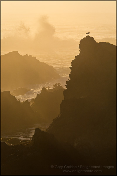 Photo: Seagull sitting on coastal rock as waves break in the background at sunset, Jug Handle State Reserve, Mendocino County Coast, California