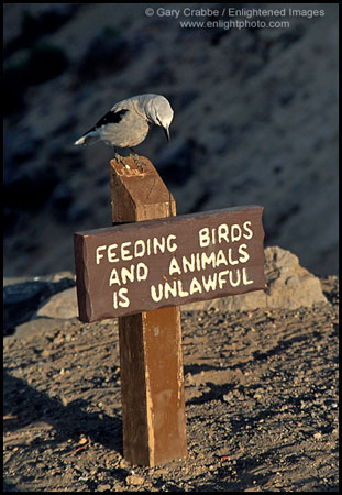 Clarks Nutcracker bird on sign  warning not to feed the animals, Crater Lake National Park, Oregon