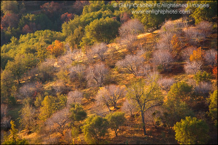 Photo: Morning light on tree-covered hillside in the Sierra Foothills, Fresno County, California