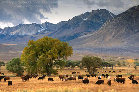 Sunrise light on Mount Tom and the Eastern Sierra over cattle grazing in pasture in the Round Valley, near Bishop, California