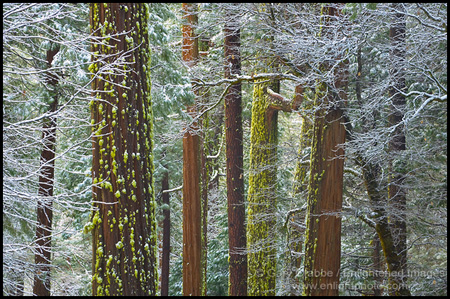 Photo: Trees frosted in snow, Yosemite Valley, Yosemite National Park, California