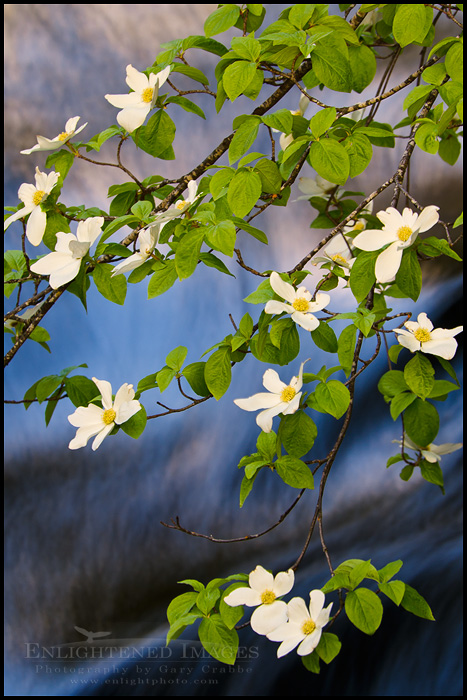 Image: Dogwood flowers in bloom over the Merced River, Yosemite Valley, Yosemite National Park, California