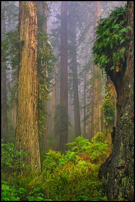 Image: Sunlight creeps into a foggy redwood forest, Redwood National Park, Del Norte County, California