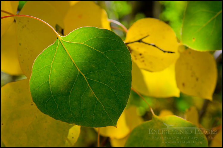 Image: Aspen leaves in early Fall, Lundy Canyon, Eastern Sierra, California