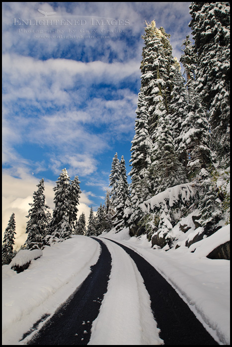 Image: Snow covered pine trees along road to Echo Summit, near Lake Tahoe, California