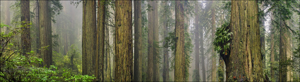 Image: Redwood forest, Redwood National Park, Del Norte County, California