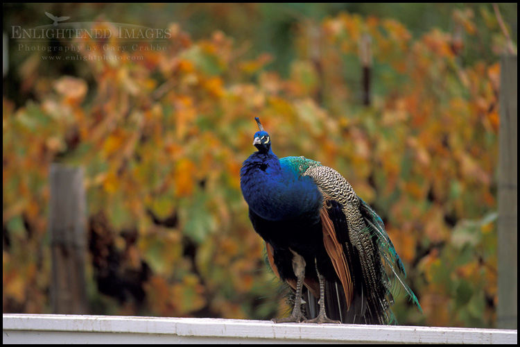 Image: Peacock in front of vineyard in fall, near Avila Beach, California