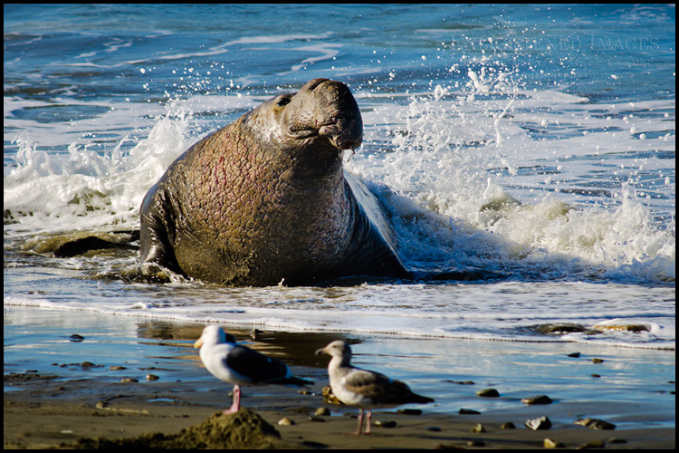 Image: Bull Elephant seal coming ashore at Ao Nuevo State Park, near Santa Cruz, California