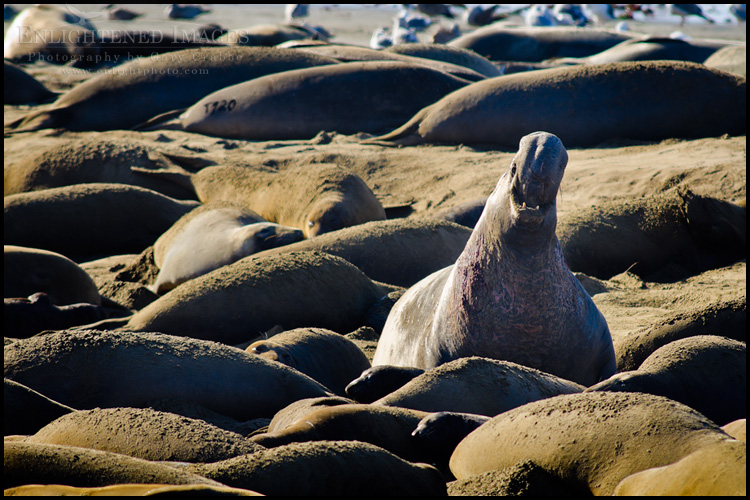 Image: Elephant seal colony at Ao Nuevo State Park, near Santa Cruz, California