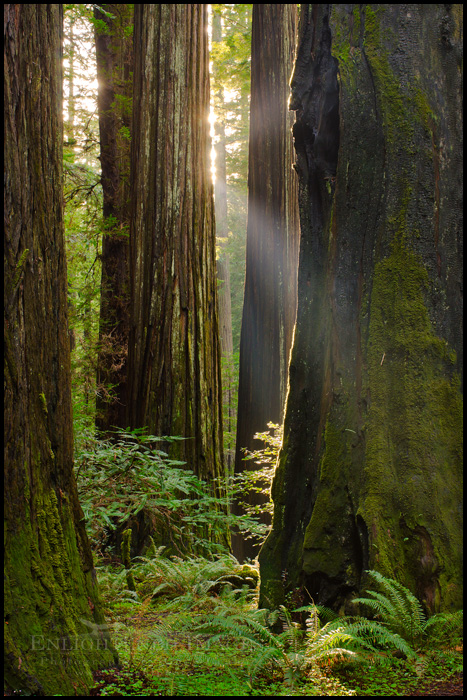 Image: Sunlight in a redwood forest, Redwood National Park, California