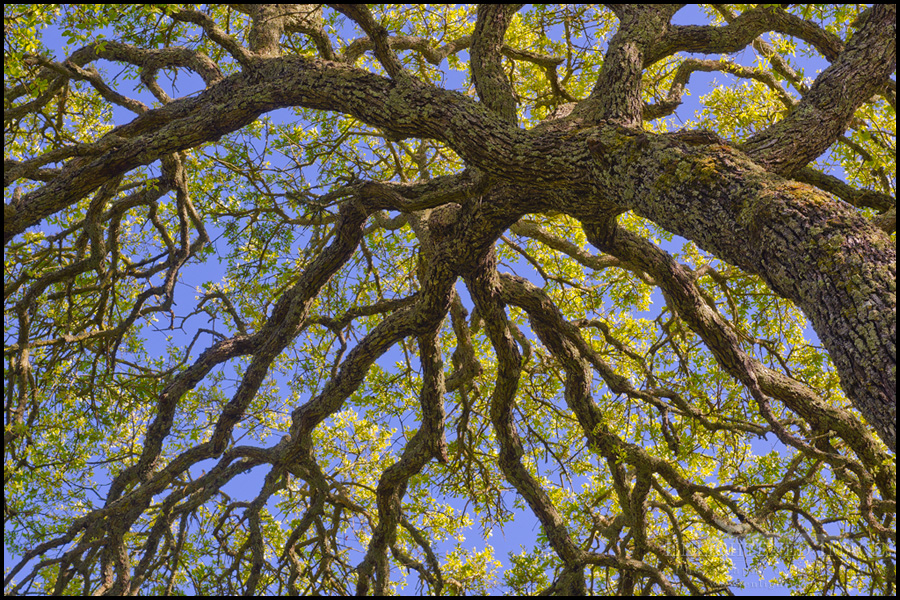 Image: Oak tree branches detail in spring, Briones Regional Park, Contra Costa County, California
