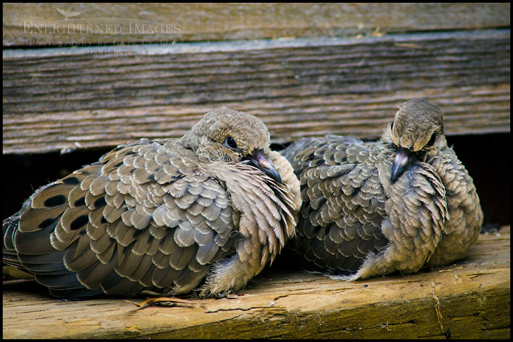 Image: Pair of fledgeling Mourning Dove siblings resting together just moments after taking their first flight out of their nest