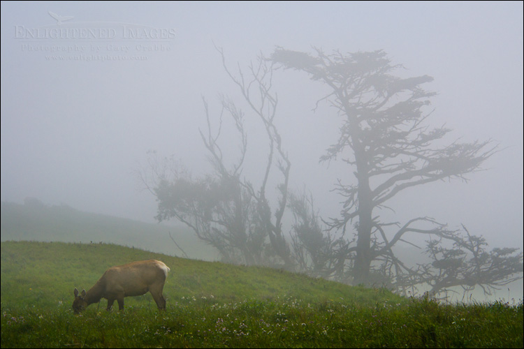Image: Female elk grazing on grassy hillside in fog, Point Reyes National Seashore, Marin County, California