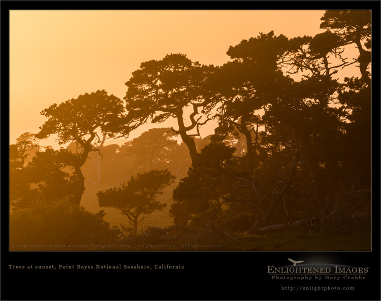 Image: Trees at sunset, Point Reyes National Seashore, Marin County, California