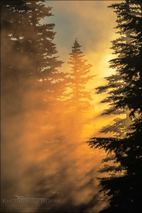 Image: Sunrise light and morning mist through trees in forest, Mount Rainier National Park, Washington