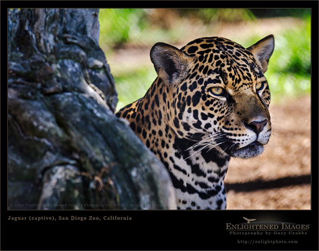 Image: Jaguar (captive), San Diego Zoo, California