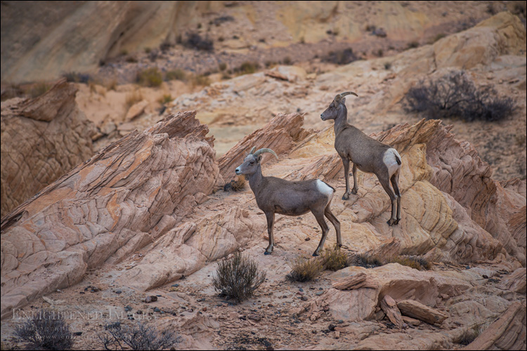Image: Desert Bighorn sheep, Valley of Fire State Park, Nevada