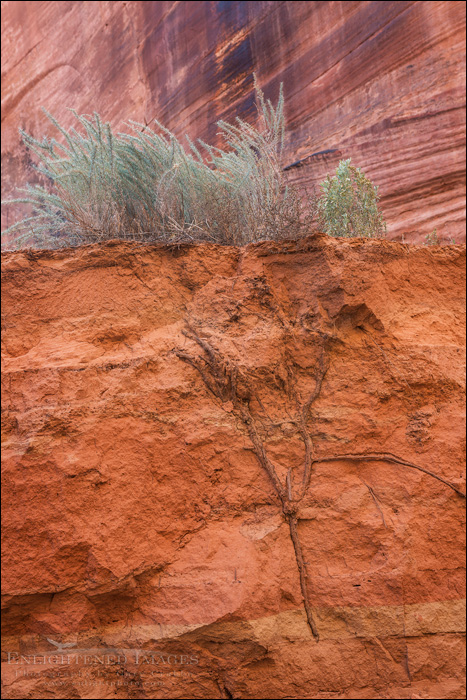 Image: Roots, Buckskin Gulch,  Paria Canyon-Vermilion Cliffs Wilderness Area, Utah