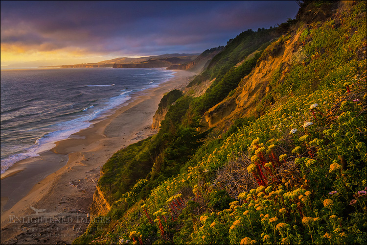 Image: Wildflowers on coastal cliffs at sunset, San Gregorio State Beach, San Mateo County coast, California