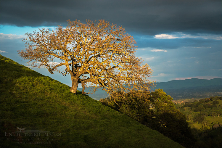 Image: Sunlight on an oak tress after a storm, Briones Regional Park, Contra Costa County, California