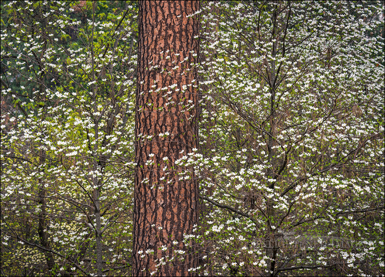 Image: Dogwood flowers in bloom in forest, Yosemite Valley, Yosemite National Park, California