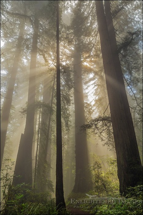Image: Sunlight through Redwood forest and fog, Redwood National and State Parks, Del Norte County, California