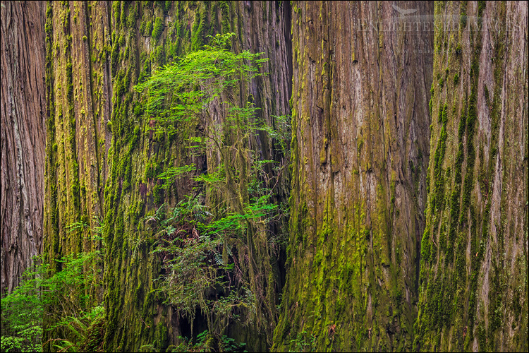 Image: Detail of redwood tree trunks in forest, Redwood National and State Parks, Del Norte County, California