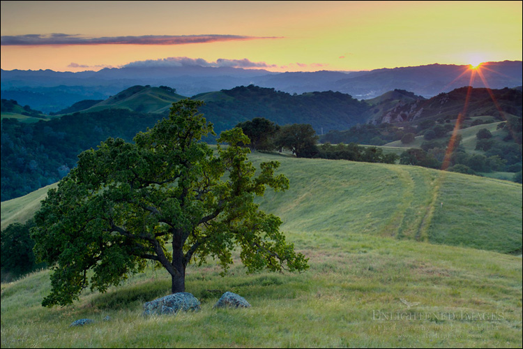 Image: Lone oak tree and rolling hills in spring and golden sunset light, Mount Diablo State Park, California