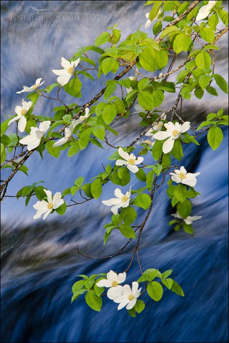 Image: Dogwood blossoms in spring along the Merced River, Yosemite Valley, Yosemite National Park, California