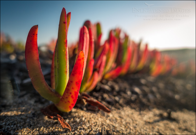 Image: Iceplant at North Beach, Point Reyes National Seashore, Marin County, California