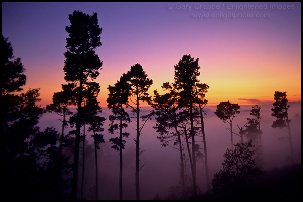 Trees & fog at sunset, Berkeley Hills, California