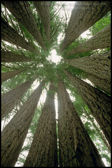 Landscaping With Redwood Trees : The goosepen of redwood trees sonoma county california landscape