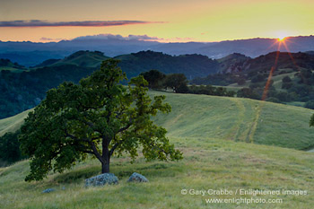 Sunset over oak tree in spring, Mount Diablo, California