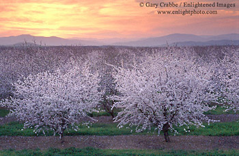 Almond Orchard Blossoms During A Spring Sunset Central